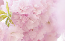 桜の花エキス